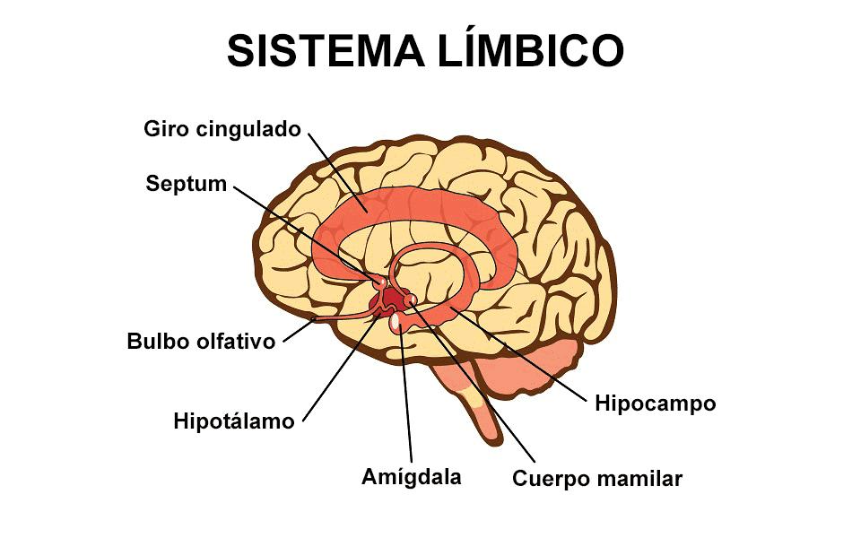 terapia de casal rj sistema limbico